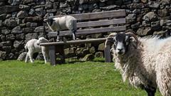 Just get down! (els bels) Tags: yorkshire lamb yorkshiredales