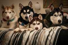 Zoey, Ares, Sakari and Embry (Arctic Blue Huskies) Tags: dog canon husky huskies siberianhusky canonrebel siberian siberianhuskies siberianhuskypuppy