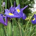 Au jardin, iris de Hollande, Bosdarros, Béarn, Pyrénées Atlantiques, Aquitaine, France.