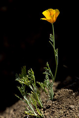 California Poppy (Eschscholzia californica) (pointnshoot) Tags: poppy californiapoppy eschscholziacalifornica drycreekregionalpark canonef400mmf4doisusm
