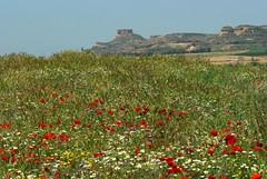 Printemps en Aragon (Espagne) (PierreG_09) Tags: españa fleur plante huesca flor aragon espagne flore
