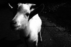 Goat (jammin' one) Tags: blackandwhite bw white black monochrome japan island mono blackwhite goat bn  okinawa japo  japon giappone jepang japn        japonia japonya jepun haterumajima japn japonsko  japonija japna   appun  snmainht