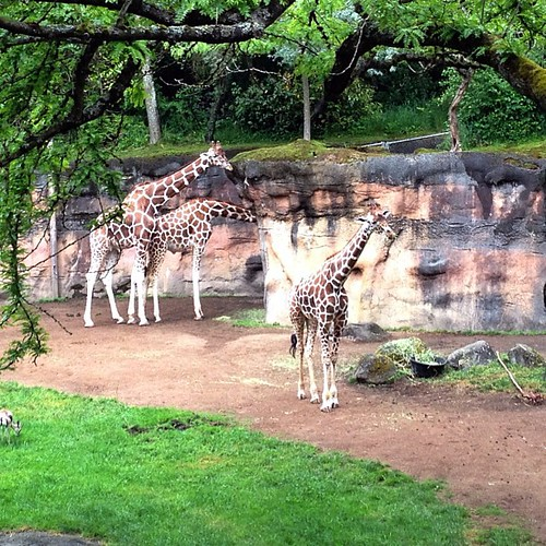 I love giraffes. So much.  #oregonzoo #giraffes