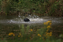 Gundogs (jane currie) Tags: black water swim pond labrador splash retrieve gundog