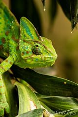 karma, karma, chameleon (kerstin_meyer) Tags: green canon eos aquarium hamburg 7d grn chameleon chamleon aquariumshot