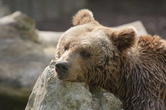 Braunbr / Brown bear (burnett0305 - Thanks for over 175.000 views!) Tags: canon mammalia braunbr bren brownbear ursusarctos carnivora braunbren raubtiere sugetiere ausrstung canonef100400mmf4556lisusm canoidea canoneos5dmarkiii bearursidae hundertige