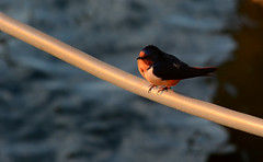 Barn Swallow (hpaich) Tags: desktop wild wallpaper bird nature water animal fauna background wildlife feather rope line perch swallow barnswallow avian desktopwallpaper roost desktopbackground