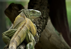 Iguana (paza140) Tags: nature animal thailand zoo national iguana geographic paza140