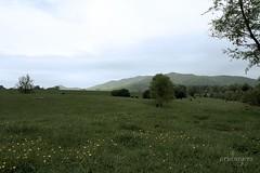 Abandoned family farm, looking westward (ariel is . . .) Tags: green abandoned landscape virginia cows rustic pasture va fields blueridgemountains bucolic southcentral buttercups amherstcounty oldabandonedfarm yesiscaredthecows springtimeissobeautifulhere