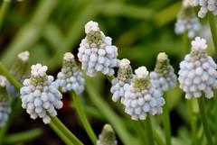 Lilac. (Ava Fender Photography.) Tags: lilas violet lila flower blume garten garden green grn germany deutschland