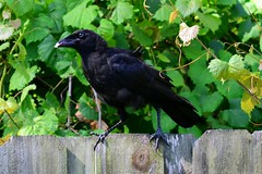 Old Grump with some Breakfast (Zoom Lens) Tags: bird birds intelligence sacred mystical crow spiritual crows corvid avian intelligent corvids johnrussellakazoomlens copyrightbyjohnrussellallrightsreserved crowlife