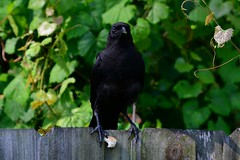 The things a Crow has to go through to get a lousy crust of bread (Zoom Lens) Tags: bird birds intelligence sacred mystical crow spiritual crows corvid avian intelligent corvids johnrussellakazoomlens copyrightbyjohnrussellallrightsreserved crowlife