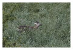shake your head (*jos*) Tags: italy nature animals outdoor wildlife piemonte roebuck capriolo vallidilanzo coassolotorinese valadedlans