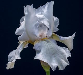 White Iris 2013