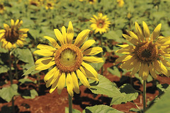 Sunflowers! (CHS Inc) Tags: food farm farming sunflowers agriculture chs agronomy agribusiness stewardship chsinc mayjune2013cmagazine paybackfeed