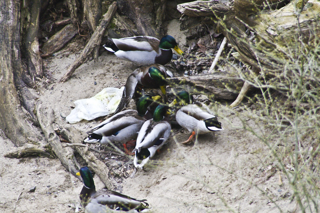 The Worlds Best Photos Of Duck And Rape - Flickr Hive Mind-6875