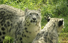 Asha With Her Mom (zenseas) Tags: seattle washington helen leopard asha shanti oneyearold snowleopard woodlandparkzoo phinneyridge unciauncia wpz pantheraunica