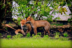Fox Play