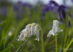 Bluebells (Shastajak) Tags: flower bluebells pentax wildflower k5 tamron18250mm pentaxk5