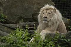 White lion - Afrikaanse witte leeuw (Berendje Photography1) Tags: wild male animal king jungle wildanimal leader dieren witte whitelion leeuw ouwehandsdierenpark animalphotography afrikaanse wildphotography afrikaanseleeuw dierenfotografie ouwehandszoo flickrbigcats wilddier ouwehandszoorhenenthenetherlands