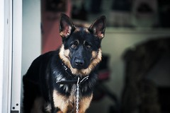 Tyson (janwellmann) Tags: dog posing germanshepherd staring
