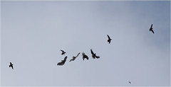 Buzzing the Buzzard (jammo_s) Tags: sky bird composite photo wings cathedral pigeon beak raptor norwich prey birdofprey bif peregrine multiexposure birdinflight norwichcathedral peregrinefalcon tiercel canonef400mmf56lusm jammo canoneos60d norwichperegrine norwichcathedralperegrine birdflightsequence