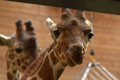 here's looking at you kid, Giraffe style (Kim Roslyng) Tags: africa animal canon copenhagen zoo wildlife spots giraffe capture