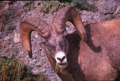 IMG_0097 (Rock Rabbit Photo) Tags: scans sheep horns bighorn rams slides