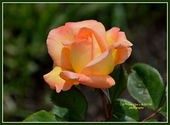 Bicolor rose (Pepe (ADM)) Tags: flores flower nature rose flor fiori bicolor bicolorrose fleure