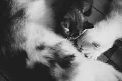 love (_ARTisWORK_) Tags: blackandwhite pet pets love monochrome cat kitten f14 grain sigma monotone 32 lightroom 30mm nikond90