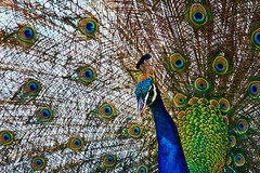 Peacock On Lokrum, Dubrovnik (mark_mullen) Tags: bird island feathers croatia peacock colourful hr dubrovnik dalmatia plumage lokrum canon24105 canon5dmk3 markmullenphotography