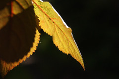 Leaves 017 (Ethan Sztuhar) Tags: red sun blur leaves closeup focus warm close bokeh sony a33 alpha