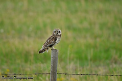 Short-eared Owl DSC_9849 (Ronaldok) Tags: canada bird nature birds fauna nikon raptor alberta owl ornithology owls birdofprey shortearedowl asioflammeus shorteared southernalberta d300s globalbirdtrekkers ronaldok nikond300s
