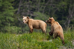 Grizzly Bear - Female Cubs (Turk Images) Tags: spring britishcolumbia vancouverisland mammals grizzlybear ursidae ursusarctoshorribilis glendalecove tideripgrizzlytours