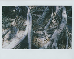 Back to your roots (Jacob's Camera Closet) Tags: camera tree film fuji florida fig thomas roots instant edison instax
