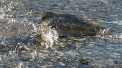 Chum Salmon (Michael Schmidt Photography Vancouver) Tags: fish canada swimming britishcolumbia spawning dying splashing deroche harrisonriver harrisonmillsbc michaelschmidtphotographyvancouverbc wwwmichaelschmidtphotographycom httpwwwflickrcomphotosdmichaelschmidtsets chumsalmononcorhynchusketa