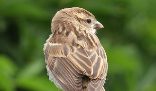 Juvenile House Sparrow Close Up Profile