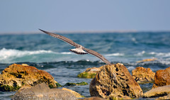 On the wing ... (bbic) Tags: sea rocks waves su seamew pescarus