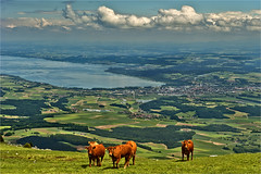 Cows on The  summit of the Suchet ,(1588 alt ). June 22,2013. No.5732. (Izakigur) Tags: mountains liberty schweiz switzerland nikon europa europe flickr suisse suiza swiss feel jura f 24 28 helvetia nikkor 1001nights svizzera 70 lepetitprince ch dieschweiz musictomyeyes vaud suizo saintecroix stecroix suchet romandie suisseromande myswitzerland lasuisse yverdonlesbains سويسرا שווייץ d700 lavalléedejoux juravaudois nikond700 nikkor2470f28 nikkor2470 izakigur nikon2470f28 nikon2470mmf28g suisia laventuresuisse izakigurjura izakigurd700 izakigur2013