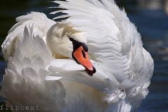 Who Can It Be Now (flipkeat) Tags: portrait white bird nature birds closeup port outdoors swan different wildlife awesome credit mississauga mute avian dslra500