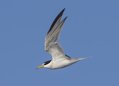 Least Tern (Hockey.Lover) Tags: birds alamedacounty terns leasttern haywardregionalshoreline