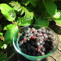 "Salal berries for lunch! #nativeplants #urbanfarm #pacificnorthwest #pnw #mygarden • <a style=""font-size:0.8em;"" href=""https://www.flickr.com/photos/61640076@N04/9321043729/"" target=""_blank"">View on Flickr</a>"