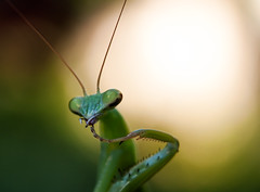 Mantis flossing