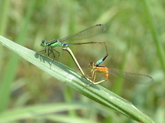 090907_0036 (creek.chen) Tags: insect taiwan insects mating  damselflies  odonata zygoptera coenagrionidae