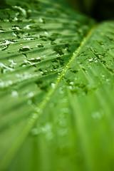 Monsoon (The Nocturnal Weirdo) Tags: morning india mountains green nature water rain leaf rainyday kerala rainy dew monsoon raindrops waterdrops waterdroplets munnar canonefs1855 rainonleaf greenlife eos450d touristplace canoneos450d chinnakanal indianmonsoon rebelxsi sujithvarma thenocturnalweirdo