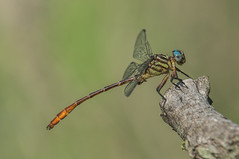 russett-tipped clubtail (explored 8/29/2013) (robert salinas) Tags: dragonflies sigma a57 hornsbybend odonates