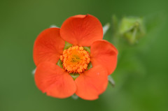 Little orange flower [Explored] (Rene Mensen) Tags: orange flower macro garden nikon dof little micro oranje emmen bloem d5100
