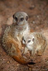 Meerkats (Mark Eastment) Tags: baby cute nature animals zoo meerkat wildlife young mammals bristolzoo meerkats