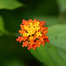 "Lantana camara, Verbenaceae • <a style=""font-size:0.8em;"" href=""http://www.flickr.com/photos/101688182@N03/9833704533/"" target=""_blank"">View on Flickr</a>"