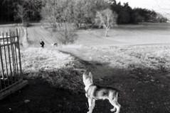 somewhere near the border (Timoleon Vieta II) Tags: bw wolf close czech little border watching slovakia curiosity timoleon